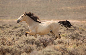 Wild Mustang, dun horse running near Adobe Town, Wyoming, USA.  -  Carol Walker