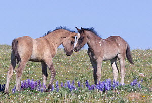 Wild Mustang foals among wild flowers, Pryor Mountains, Montana, USA. - Carol Walker