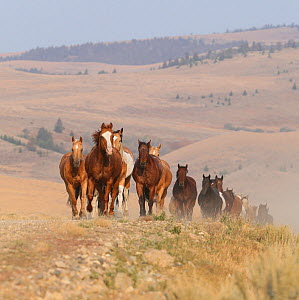 Horses in ranch, Martinsdale, Montana, USA.  -  Carol Walker