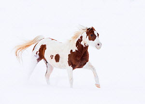 RF- Pinto Quarter horse in snow at ranch, Shell, Wyoming, USA, February. (This image may be licensed either as rights managed or royalty free.)  -  Carol Walker