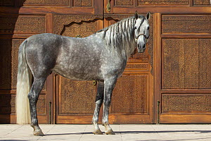 Gray Andalusian mare by wooden doors, Phoenix, Arizona, USA.  -  Carol Walker