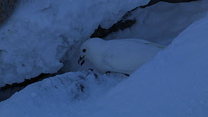 Snow petrel (Pagodroma nivea) clearing snow at nest site, walks away, Antarctica.  -  Fred  Olivier