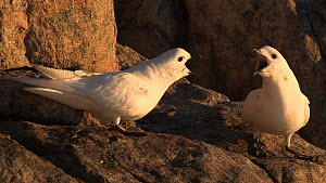 Pair of Snow petrels (Pagodroma nivea), shot pans to another individual nearby, with squabbling and interaction, Antarctica.  -  Fred  Olivier