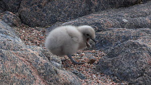 South polar skua (Stercorarius maccormicki) chick at nest site, regurgitates pellet, with parent in the foreground, Antarctica.  -  Fred  Olivier