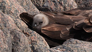 South polar skua (Stercorarius maccormicki) chick keeping warm in its parents feathers, Antarctica.  -  Fred  Olivier