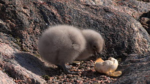 South polar skua (Stercorarius maccormicki) chick at nest site feeding from a piece of eggshell, Antarctica. - Fred  Olivier