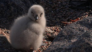South polar skua (Stercorarius maccormicki) feeding at nest site with chick, Antarctica.  -  Fred  Olivier
