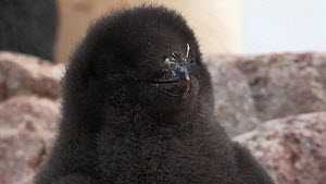 Portrait of an Adelie penguin (Pygoscelis adeliae) chick, Antarctica.  -  Fred  Olivier