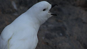 Pair of Snow petrels (Pagodroma nivea) at nest site, vocalising, Antarctica. - Fred  Olivier