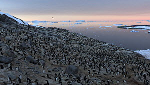 Adelie penguin (Pygoscelis adeliae) colony, with icebergs and pack ice in the background, Antarctica.  -  Fred  Olivier