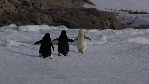 Two Adelie penguins (Pygoscelis adeliae) chasing and attacking another penguin with an isabellinism genetic pigmentation disorder, Antarctica.  -  Fred  Olivier