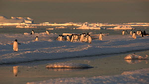 Group of Adelie penguins (Pygoscelis adeliae) running and gathered on sea ice, Antarctica.  -  Fred  Olivier