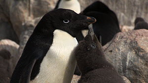 Hungry Adelie penguin (Pygoscelis adeliae) chick begging for food from its parent, Antarctica. - Fred  Olivier