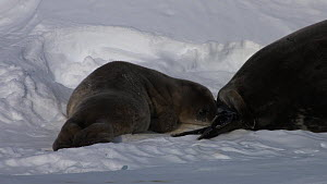Female Weddell seal (Leptonychotes weddellii) touching pup with flippers, Antarctica.  -  Fred  Olivier