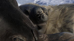 Close-up of a Weddell seal (Leptonychotes weddellii) pup scratching, with parent sleeping nearby, Antarctica. - Fred  Olivier