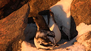 Male Cape petrel (Daption capense) pecking at snow and tidying nest site, Antarctica. - Fred  Olivier