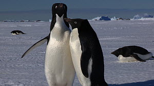 Pair of Adelie penguins (Pygoscelis adeliae) displaying to one another,  Antarctica.  -  Fred  Olivier