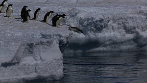 Group of Adelie penguins (Pygoscelis adeliae) diving from the edge of the sea ice, Antarctica.  -  Fred  Olivier