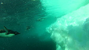 View of Adelie penguins (Pygoscelis adeliae) diving from the edge of the sea ice and swimming underwater, Antarctica. - Fred  Olivier