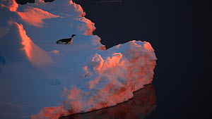 Emperor penguin (Aptenodytes forsteri) tobogganing on an iceberg at sunset and diving from the edge, seen from a moving boat, Antarctica.  -  Fred  Olivier