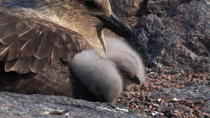 South polar skua (Stercorarius maccormicki) chicks keeping warm in parents feathers, Antarctica. - Fred  Olivier
