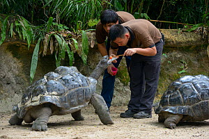 Aldabra giant tortoise (Geochelone gigantea), keepers administrating worming medicine. Captive. Occurs on the Aldabra atoll, Seychelles. - Daniel  Heuclin