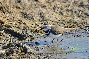 Three-banded sandplover (Charadrius tricollaris) De Hoop Vlei, De Hoop Nature Reserve, Western Cape, South Africa.  -  Tony Phelps