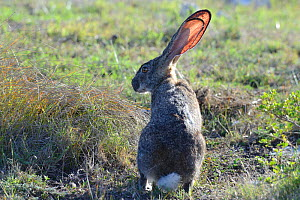 Cape hare (Lepus capensis) sitting in grassy fynbos. De Hoop Nature Reserve, Western Cape, South Africa.  -  Tony Phelps