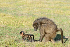 Chacma baboon (Papio ursinus) mother and infant walking in grassy fynbos. De Hoop Nature Reserve, Western Cape, South Africa.  -  Tony Phelps