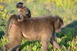 Chacma baboon (Papio ursinus) female feeding in grassy fynbos with infant riding on back. De Hoop Nature Reserve, Western Cape, South Africa. - Tony Phelps