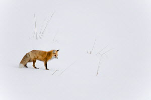 Red fox (Vulpes vulpes) in snow, Yellowstone National Park, Wyoming, USA. Wyoming, USA, January. - Ben  Cranke