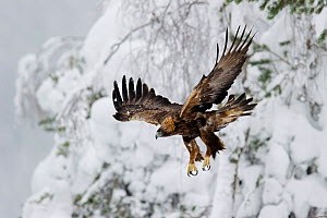 Golden Eagle (Aquila chrysaetos) in flight, Finland.  February.  -  Ben  Cranke