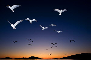 European Herring Gulls (Larus argentatus) in flight at sunset  Norway, May.  -  Ben  Cranke