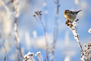 Arctic Redpoll (Carduelis hornemanni) perched on frosty plant,  Finland.  February.  -  Ben  Cranke