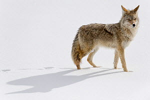 Coyote (Canis latrans)  in the snow, Yellowstone National Park, Wyoming, USA.  January. - Ben  Cranke