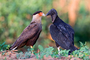 Southern Crested Caracara (Caracara plancus) and Black Vulture (Coragyps atratus)  on river bank, Mato Grosso, Pantanal, Brazil.  July.  -  Ben  Cranke