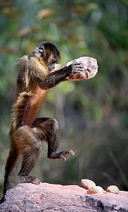 Black-striped capuchin (Sapajus libidinosus) using rocks as tools to break open palm nuts, Parnaiba Headwaters National Park, Piaui, Brazil.  July.  -  Ben  Cranke