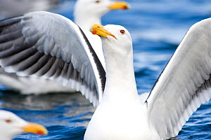 European Herring Gull (Larus argentatus) landing on the waters of a fjord,  Norway, May. - Ben  Cranke