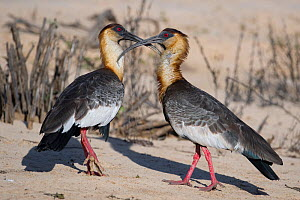 Buff-necked Ibis (Theristicus caudatus) courtship behaviour prior to mating, Mato Grosso, Pantanal, Brazil.  August.  -  Ben  Cranke