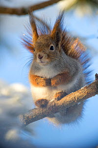 Eurasian red squirrel (Sciurus vulgaris) sitting on tree branch, Finland.  February.  -  Ben  Cranke