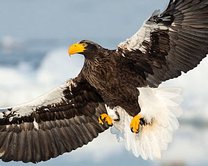 Steller's Sea Eagle (Haliaeetus pelagicus) in flight, Hokkaido, Japan.  February. - Ben  Cranke