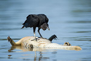 Black Vulture (Coragyps atratus) feeding on caiman carcass, Mato Grosso, Pantanal, Brazil.  August. - Ben  Cranke