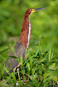 Rufescent Tiger Heron (Tigrisoma lineatum)  Hunting at the water's edge, Mato Grosso, Pantanal, Brazil.  August.  -  Ben  Cranke