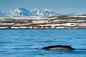 Fin whale (Balaenoptera physalus) surfacing with mountain landscape, Liefdefjorden, Svalbard, Norway.  July 2011.  -  Ben  Cranke