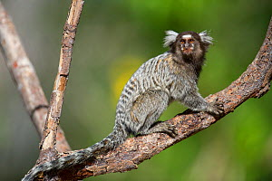 Common Marmoset (Calithrix jacchus)  Piaui, Brazil, Hanging, sitting on a palm nut branch.  July.  -  Ben  Cranke