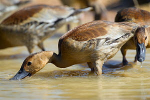 Fulvous Whistling Duck (Dendrocygna bicolor) feeding in shallow waters, Mato Grosso, Pantanal, Brazil.  July.  -  Ben  Cranke