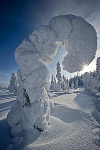 Conifer tree bending over under weight of snow, Kuusamo, Finland.  February 2011. - Ben  Cranke