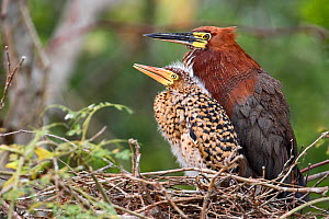 Rufescent Tiger Heron (Tigrisoma lineatum)  adult and juvenile at nest, Mato Grosso, Pantanal, Brazil.  August.  -  Ben  Cranke