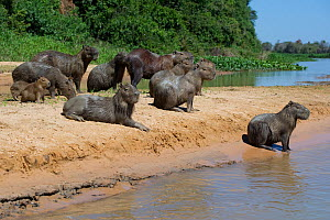 Capybara (Hydrochoerus hydrochaeris) family group together on a river bank, Mato Grosso, Pantanal, Brazil.  August.  -  Ben  Cranke