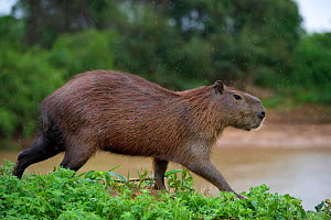 Capybara (Hydrochoerus hydrochaeris) walking along the river bank, Mato Grosso, Pantanal, Brazil.  August. - Ben  Cranke